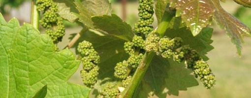 Uvas en junio